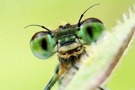 A close-up of a green eyed mantis waving.